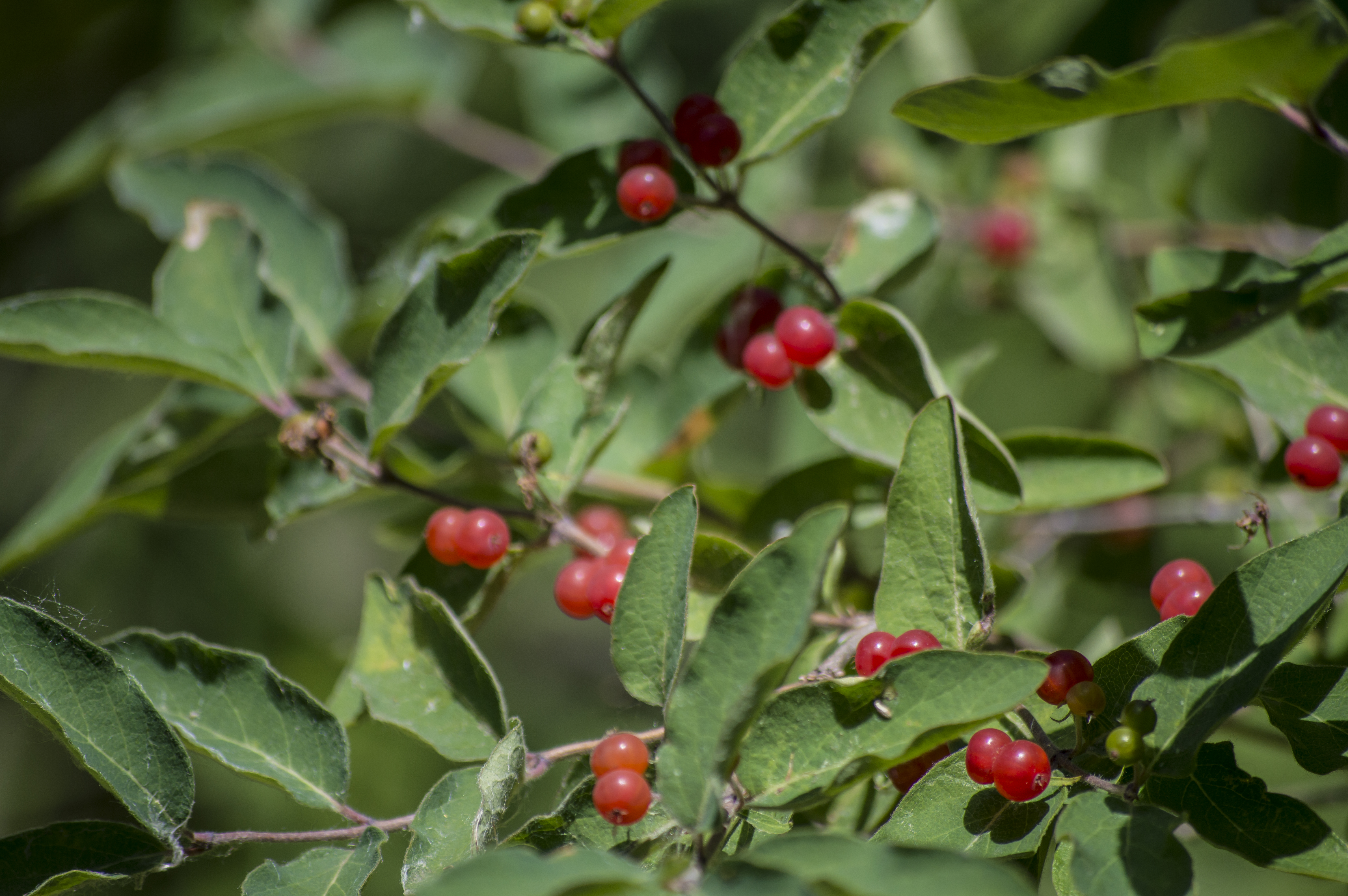 Berries from A Bush