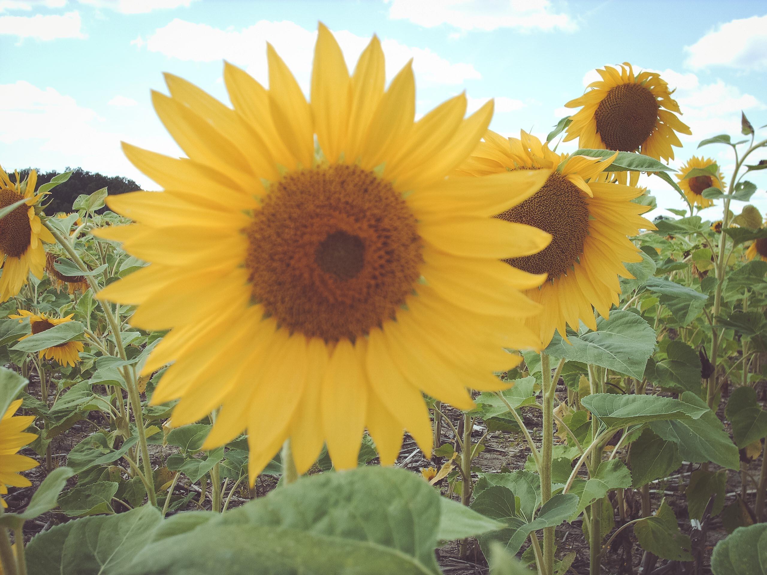 Sunflower Patch in Michigan
